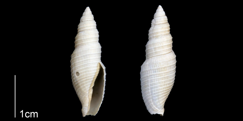 <i>Subcancilla longa</i> from the Late Pliocene Tamiami Fm. (Pinecrest Beds) of Sarasota County, Florida (PRI 70304).