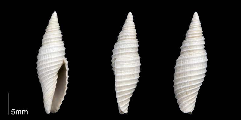 <i>Subcancilla stephensoni</i> from the Late Pliocene Tamiami Fm. (Pinecrest Beds) of Sarasota County, Florida (PRI 70303).