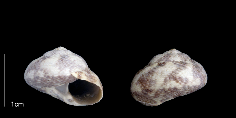 <i>Tegula exoluta</i> from the upper Pliocene Tamiami Fm. (Pinecrest Beds) of Sarasota County, Florida (PRI 70266).
