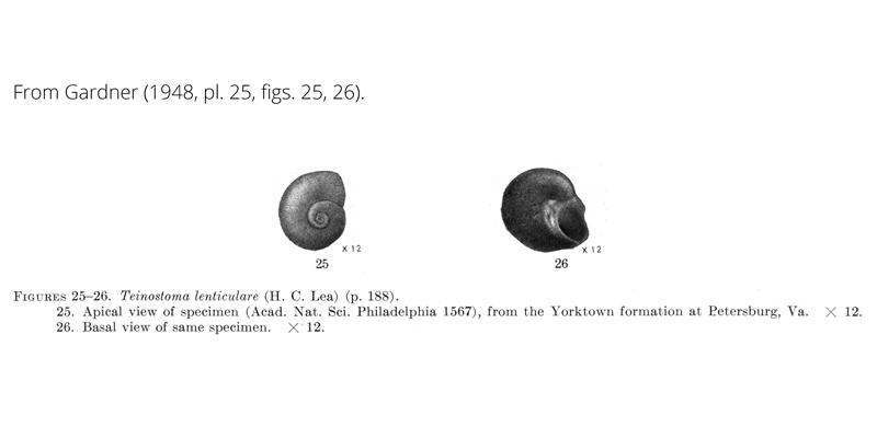 <i>Teinostoma lenticulare</i> from Gardner (1948), pl. 25, figs. 25, 26. ANSP 1567. Yorktown Formation, Petersburg, Virginia.