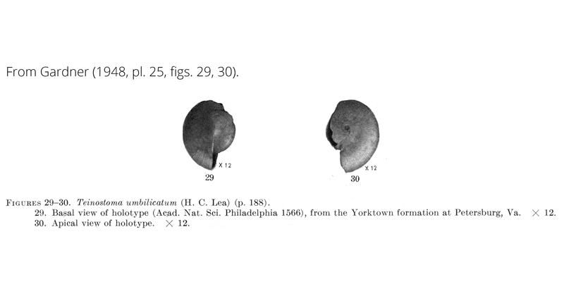 <i>Teinostoma umbilicatum</i> from Gardner (1948), pl. 25, figs. 29, 30. Holotype, ANSP 1566. Yorktown Formation, Petersburg, Virginia.