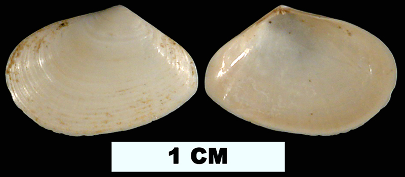 <i>Tellina hypolispa</i> from the Early Miocene Chipola Fm. of Calhoun County, Florida (UF 41820).