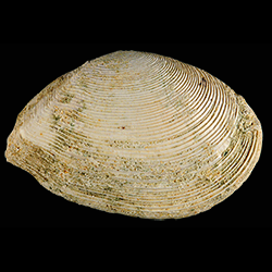Tellinella chipolana