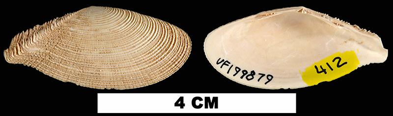 <i>Tellinella listeri</i> from the Early Pleistocene Caloosahatchee Fm. of Hendry County, Florida (UF 199879).