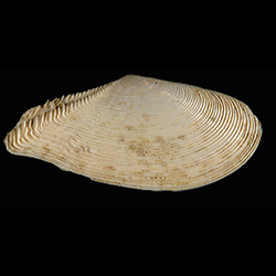 Tellinella strophia