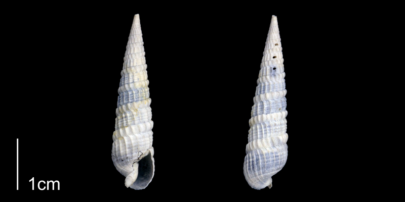 <i>Terebra dislocata</i> from the Late Pliocene Tamiami Fm. (Pinecrest Beds) of Sarasota County, Florida (PRI 70084).