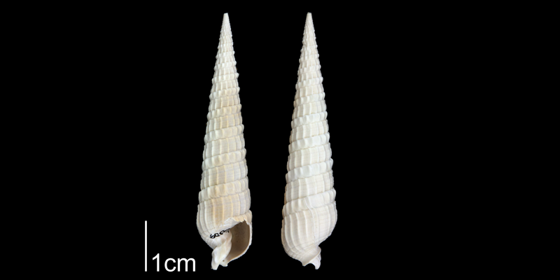 <i>Terebra dislocata</i> from the Plio-Pleistocene Nashua Fm. of Putnam County, Florida (PRI 70652).