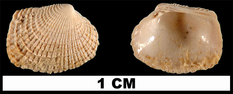 <i>Chioneryx grus</i> from the Early Pleistocene Waccamaw Fm. of Columbus County, North Carolina (UF 211916).