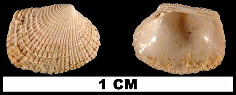 <i>Chioneryx grus</i> from the Early Pleistocene Waccamaw Fm. of Columbus County, North Carolina (UF 211916).