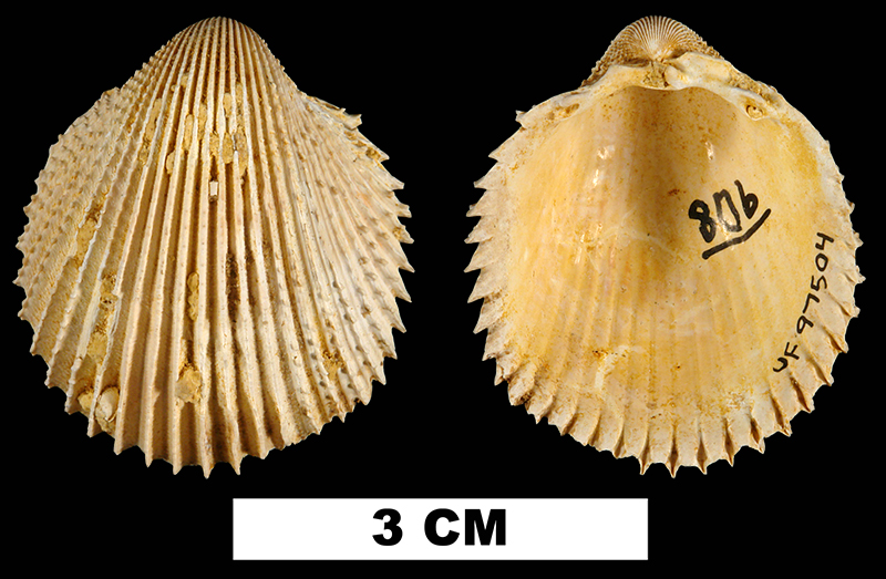 <i>Trachycardium cestum</i> from the Early Miocene Chipola Fm. of Calhoun County, Florida (UF 97504).