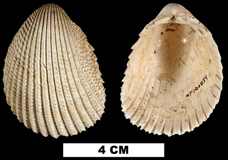 <i>Trachycardium egmontianum</i> from the Late Pleistocene Forth Thompson Fm. Of Sarasota County, Florida (UF 180834).