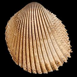 Trachycardium evergladeensis