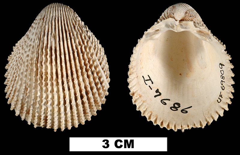 <i>Trachycardium plectopleura</i> from the Middle Miocene Shoal River Fm. of Walton County, Florida (UF 69809).