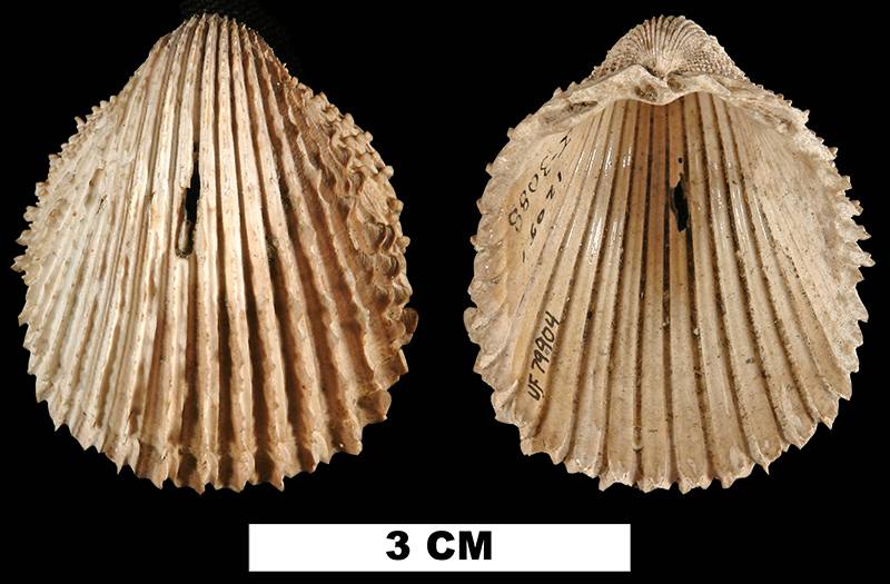 <i>Trachycardium stiriatum leonense</i> from the Late Pliocene Jackson Bluff Fm. of Leon County, Florida (UF 79904).