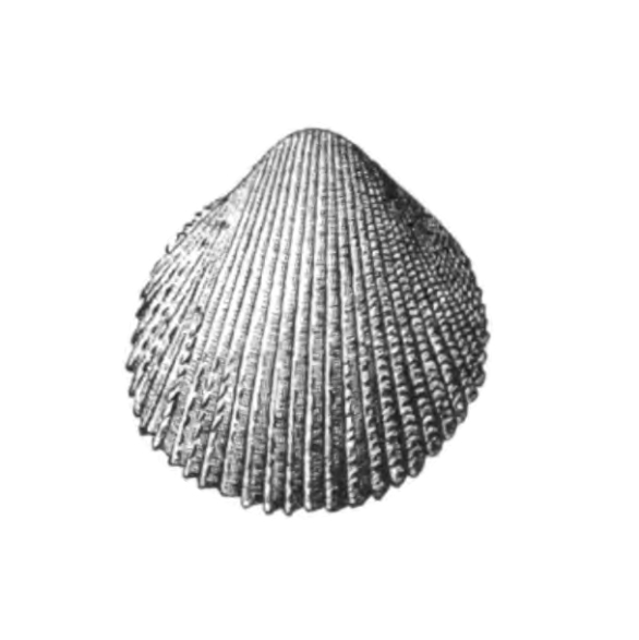 Specimen of <i>Trachycardium virile</i> figured by Dall (1900, pl. 48, fig. 1); 28.0 mm in length.
