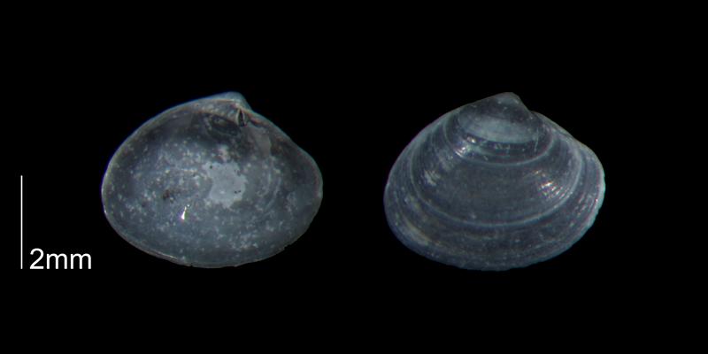 <i>Transennella stimpsoni</i> from the lower Pleistocene Waccamaw Fm. of Brunswick County, North Carolina (PRI 70444).