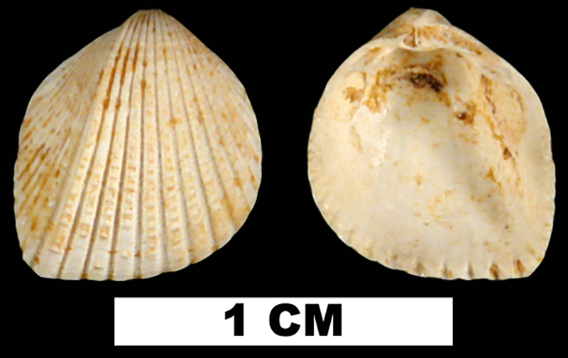 <i>Trigoniocardia burnsii</i> from the Early Miocene Chipola Fm. of Calhoun County, Florida (UF 190311).