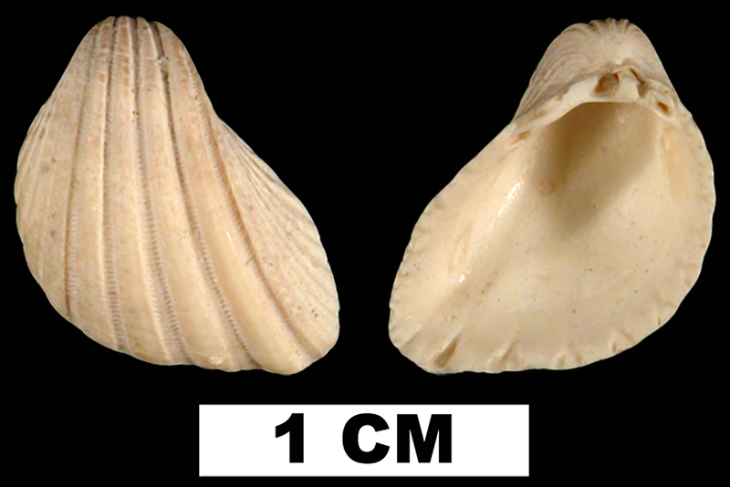 <i>Trigoniocardia willcoxi</i> from the Plio-Pleistocene (formation unknown) of Sarasota County, Florida (UF 29214).