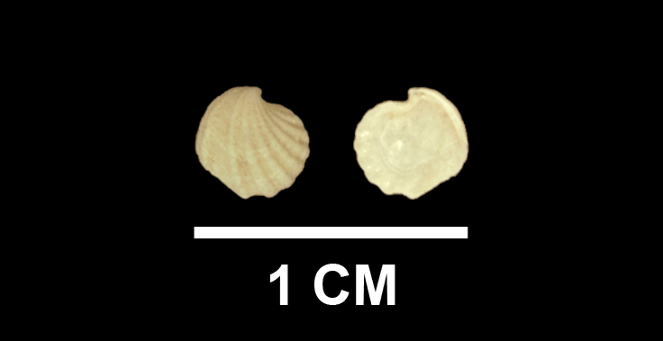 <i>Trigonulina lockei</i> from the upper Pliocene Yorktown Fm. (Moore House Member) of Isle of Wight County, Virginia (SDSM 136168).