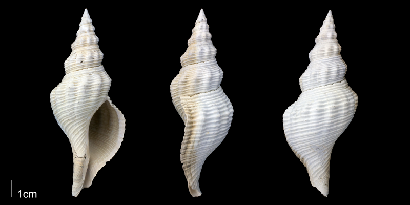 <i>Triplofusus giganteus</i> from the upper Pliocene Tamiami Fm. (Pinecrest Beds) of Sarasota County, Florida (PRI 70095).