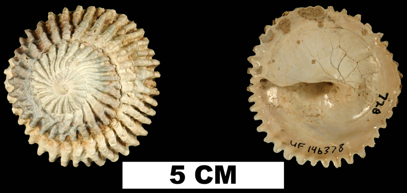 <i>Trochita floridana</i> from the Late Pliocene Tamiami Fm. (Pinecrest Beds) of Okeechobee County, Florida (UF 146378).