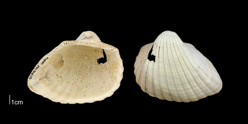 <i>Anadara scalarina</i> from the Plio-Pleistocene Nashua Fm. of Putnam County, Florida (PRI 70645).