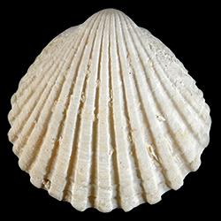 Tucetona pectinata