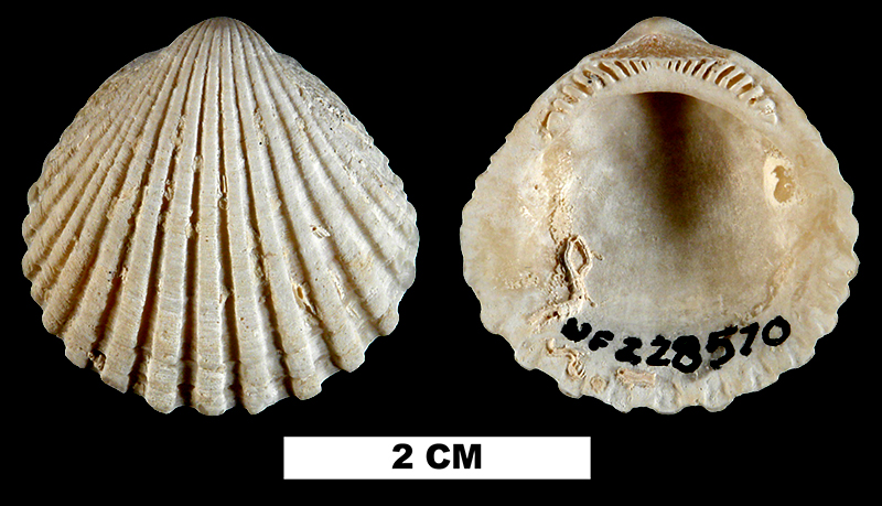 <i>Tucetona pectinata</i> from the Middle Pleistocene Bermont Fm. of Miami-Dade County, Florida (UF 228570).