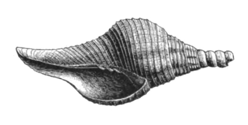Specimen of <i>Turbinella chipolana</i> figured by Dall (1890, pl. 10, fig. 7); 47.0 mm in length.