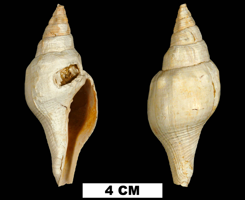 <i>Turbinella chipolana</i> from the Early Miocene Chipola Fm. of Calhoun County, Florida (UF 72816).