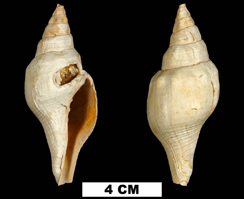 <i>Turbinella chipolana</i> from the Early Miocene Chipola Fm. of Calhoun County, Florida (UF 72816).