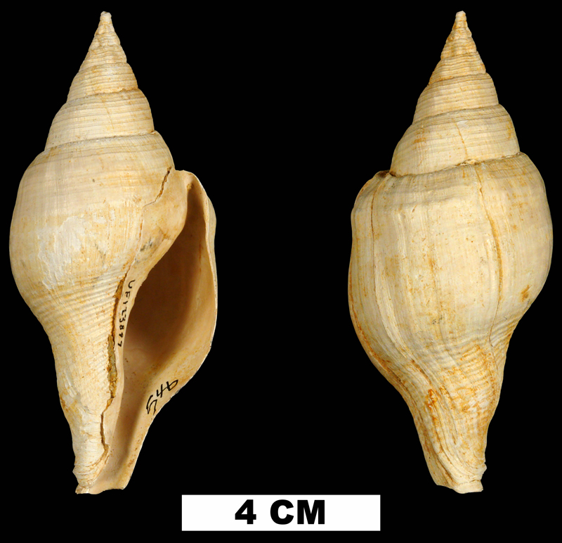 <i>Turbinella dodonaia</i> from the Early Miocene Chipola Fm. of Calhoun County, Florida (UF 123899).