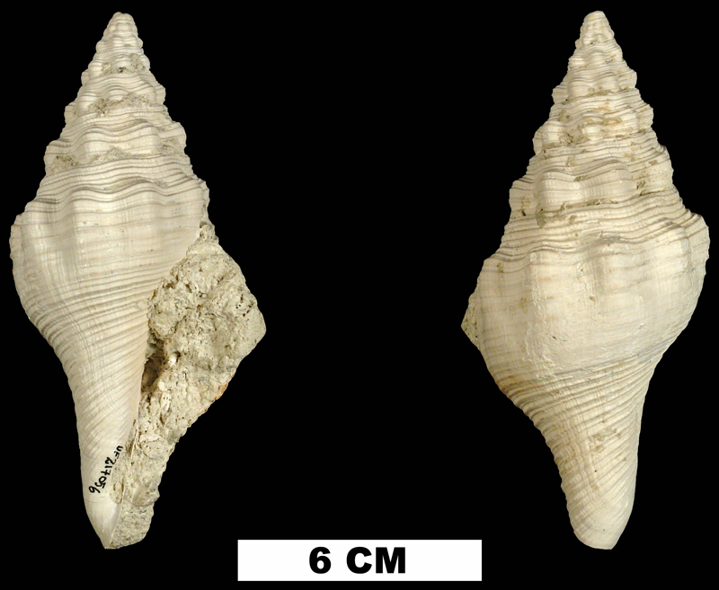 <i>Turbinella hoerlei</i> from the Middle Pleistocene Bermont Fm. of Palm Beach County, Florida (UF 217056).