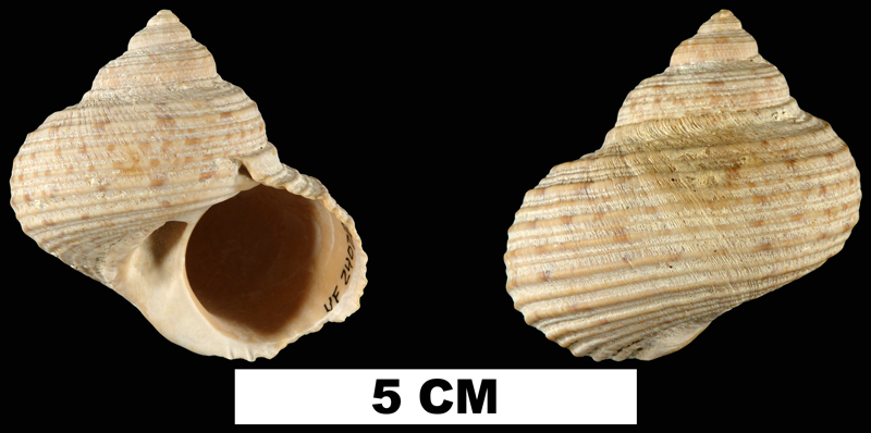 <i>Turbo rhectogrammicus</i> from the Early Pleistocene Caloosahatchee Fm. of Hendry County, Florida (UF 24028).
