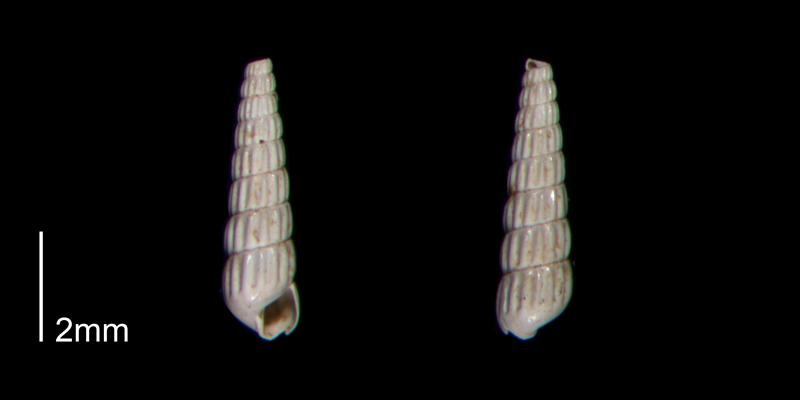 <i>Turbonilla abrupta</i> from the Early Pleistocene James City Fm. of Beaufort County, North Carolina (PRI 70512-2).