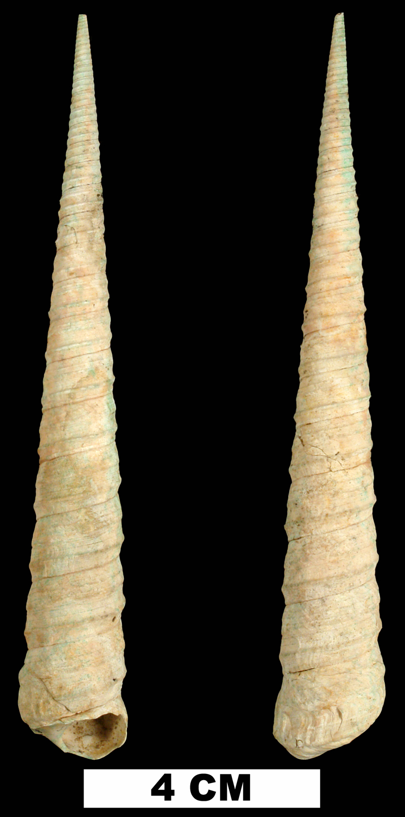 <i>Turritella alumensis</i> from the Late Pliocene Jackson Bluff Fm. of Leon County, Florida (UF 138690).