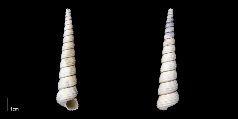 <i>Turritella magnasulcus</i> from the late Pliocene Tamiami Fm. (Pinecrest Beds) of Sarasota County, Florida (PRI 70077).