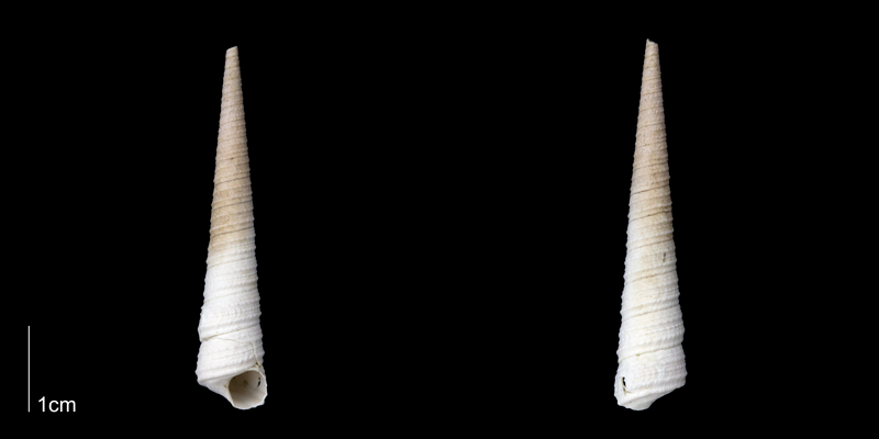 <i>Turritella wagneriana</i> from the late Pliocene Tamiami Fm. (Pinecrest Beds) of Sarasota County, Florida (PRI 70065).