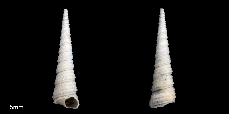 <i>Turritella wagneriana</i> from the late Pliocene Tamiami Fm. (Pinecrest Beds) of Sarasota County, Florida (PRI 70272).