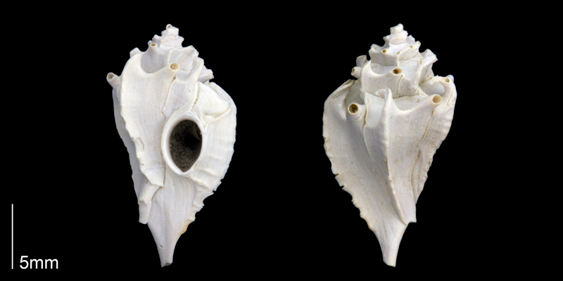 <i>Typhis harrisi</i> from the upper Pliocene Tamiami Formation (Pinecrest Beds) of Sarasota County, Florida (PRI 70187).