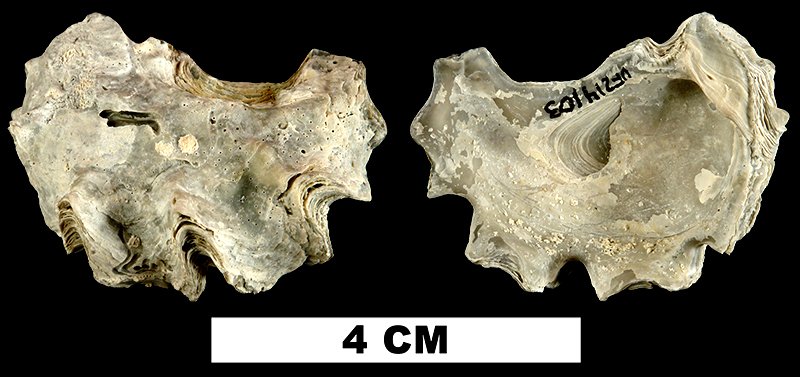 <i>Ostrea locklini</i> from the Late Pliocene Tamiami Fm. (Pinecrest Beds) of Okeechobee County, Florida (UF 214103).