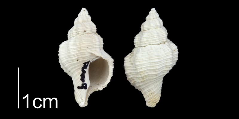 <i>Urosalpinx auroraensis</i> from the Plio-Pleistocene Nashua Fm. of Putnam County, Florida (PRI 70650).