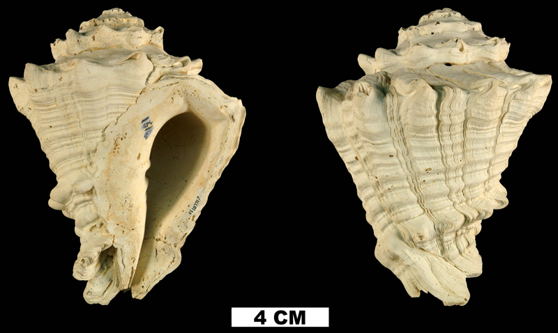 <i>Vasum floridanum</i> from the Plio-Pleistocene (formation unknown) of DeSoto County, Florida (UF 107717).