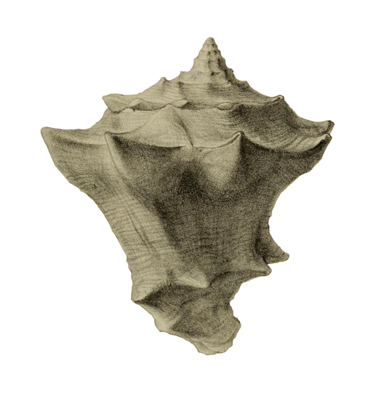 Specimen of <i>Vasum haitense</i> figured by Guppy (1876, pl. 29, fig. 3); scale unclear.