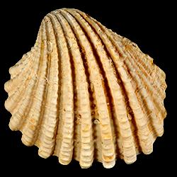 Venericardia hadra