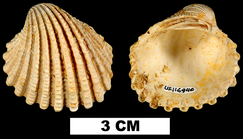 <i>Venericardia hadra</i> from the Early Miocene Chipola Fm. of Calhoun County, Florida (UF 116940).
