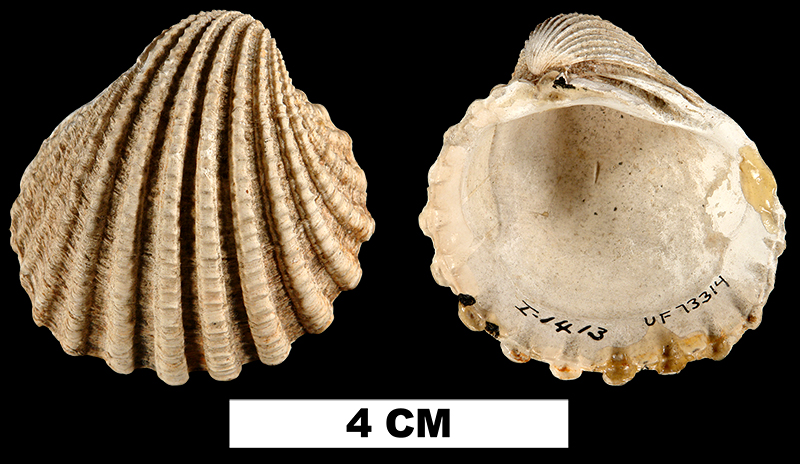 <i>Venericarida himerta</i> from the Early Miocene Oak Grove Sand of Okaloosa County, Florida (UF 73314).