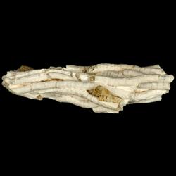 Vermetus virginicus