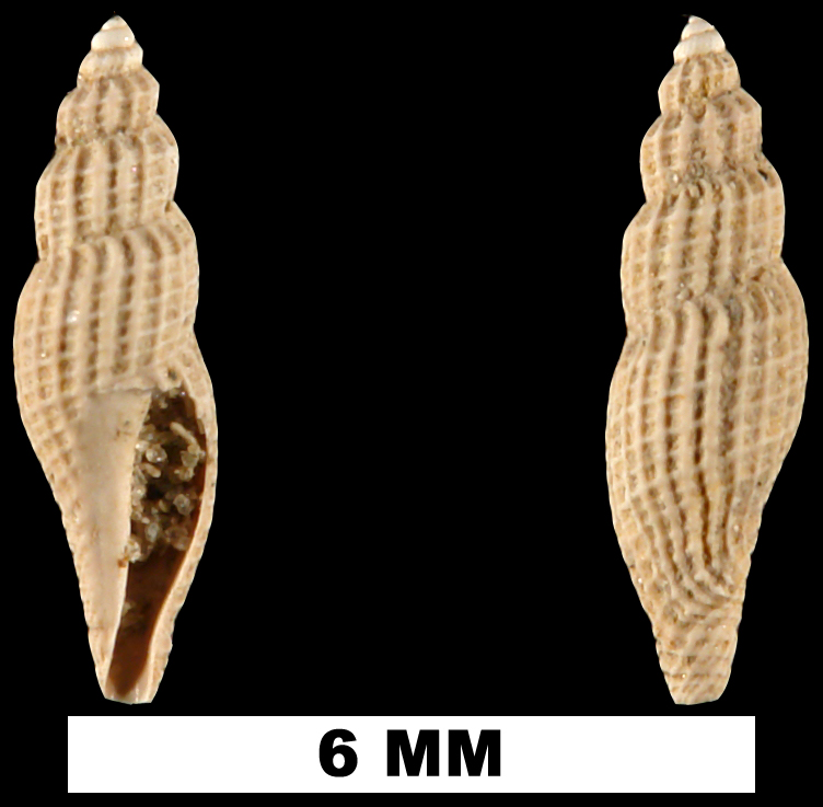 <i>Vitricythara metria</i> from the Late Pliocene Jackson Bluff Fm. of Leon County, Florida (UF 69084).
