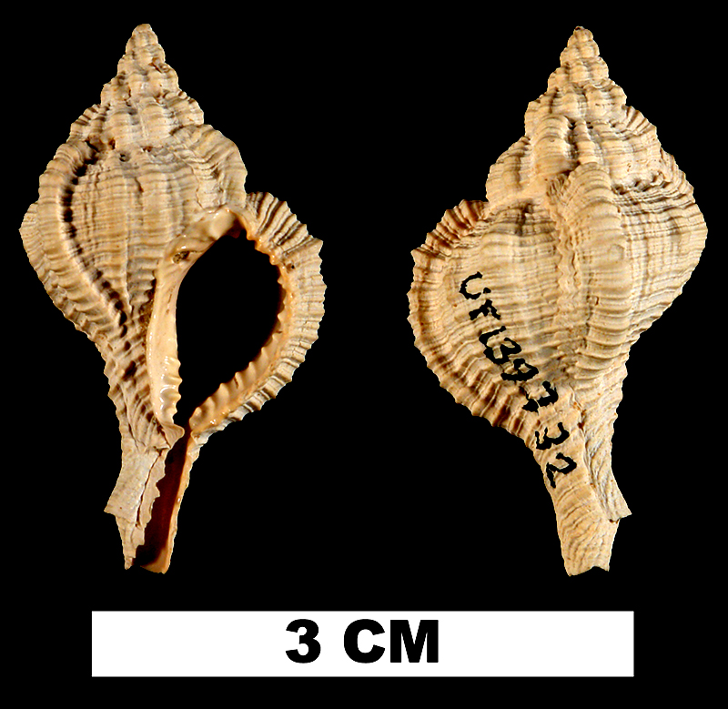 <i>Vokesimurex gilli</i> from the Early Miocene Chipola Fm. of Calhoun County, Florida (UF 139732).